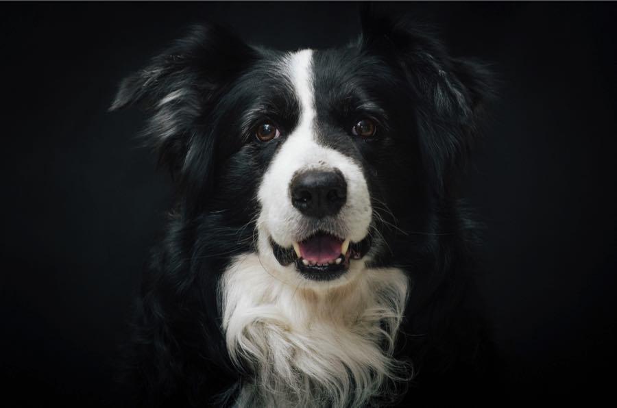 Бордер-Колли (Border Collie), порода пастушьих собак
