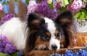 Самые маленькие породы собак – ТОП-10