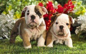 Самые дорогие породы собак – ТОП-15