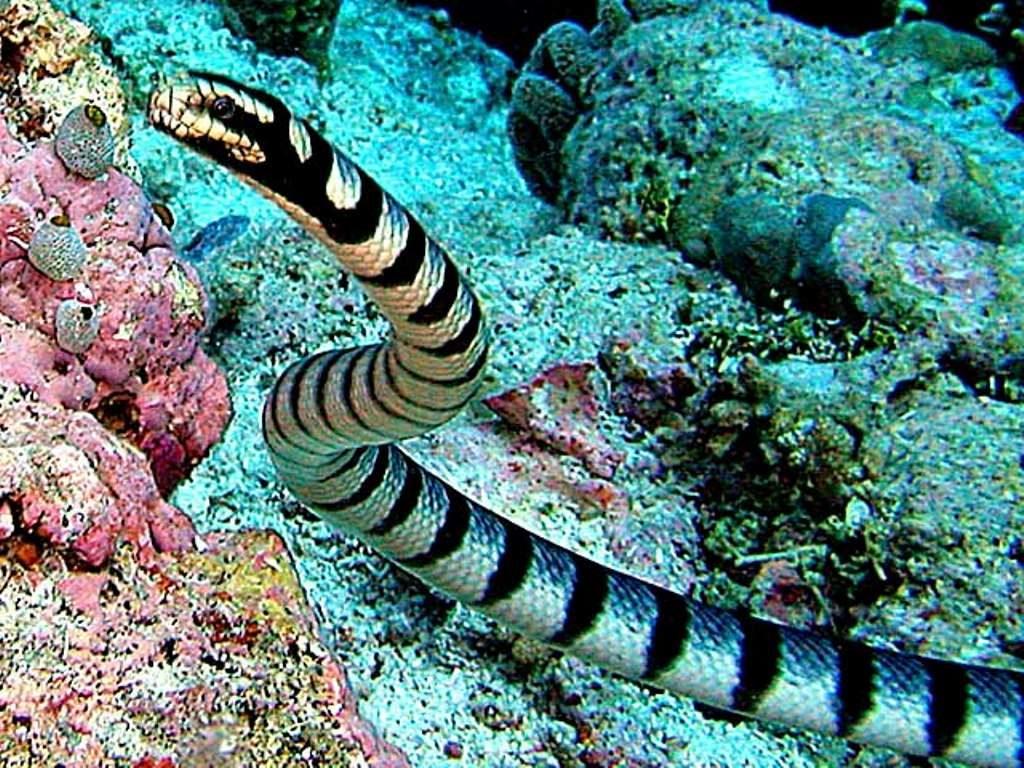 Большой плоскохвост или морской крайт