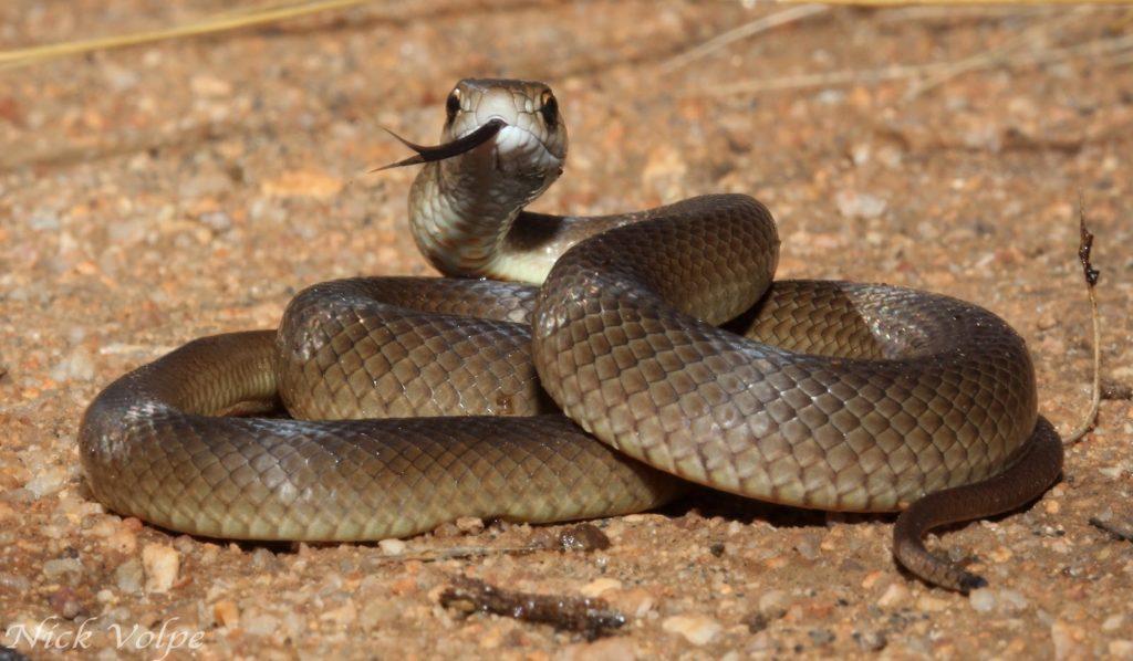 Сетчатая или Восточная коричневая змея