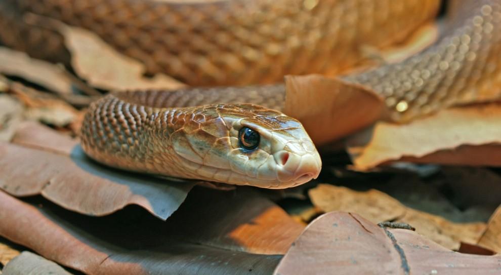 Тайпан Маккоя жестокая змея