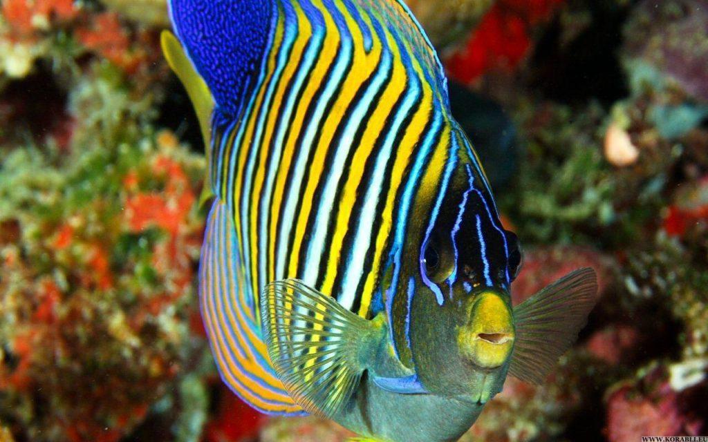 Королевская рыба-ангел