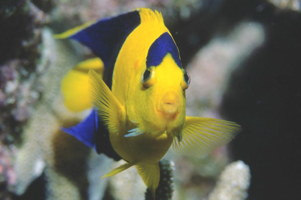 Центропиг сине-желтый