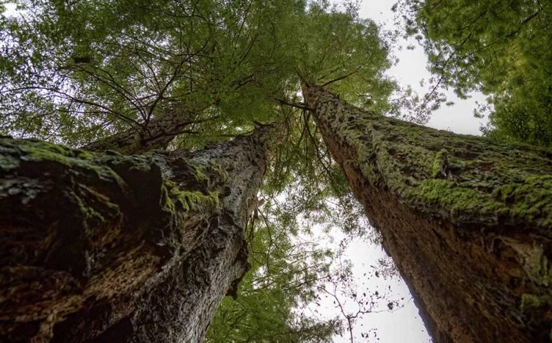 Картинки по запросу дерево, — 130 метров.