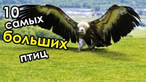 Самые большие птицы в мире