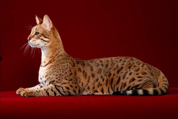 Топ 10 дорогих пород кошек в мире